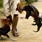 Cockfight, Palawan, Philippines